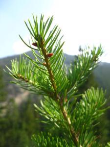 Fur tree branch by Laura M